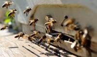 Des mosquées accueillent des ruches sur leurs toits