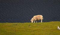 Aïd el Kebir : c'est une histoire de mouton